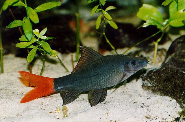 Labeo bicolor: description, photo, compatibility with other fish