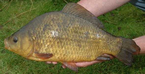 Characteristics and habitat of crucian carp. How to catch a carp a newbie. Terms of catching a fishing rod.